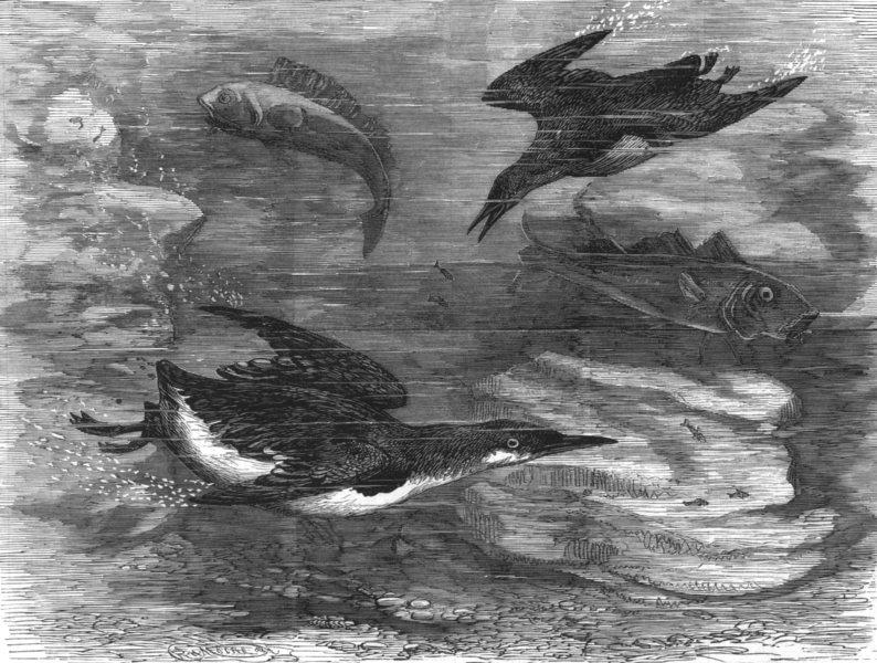 Associate Product SUSSEX. Guillemots at the Brighton aquarium, antique print, 1877