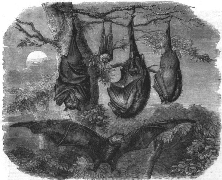 Associate Product LONDON. Flying foxes zoo, Regent's Park, antique print, 1861