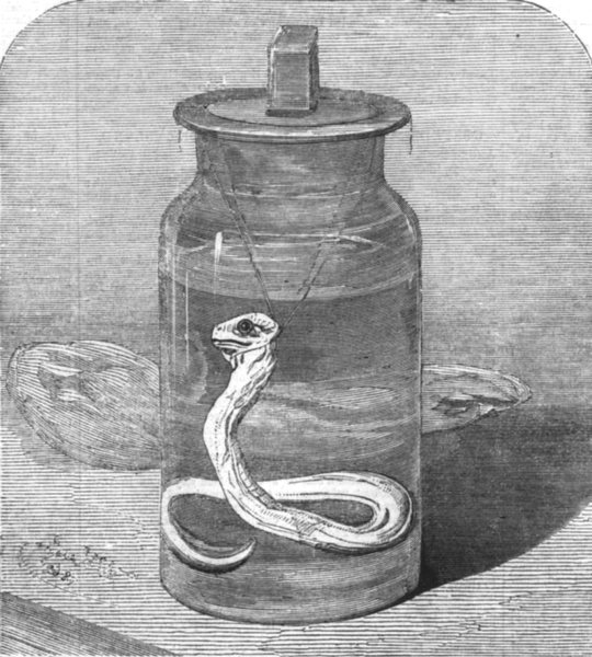 Associate Product LONDON. Young Python in the Zoological Society's Gardens, antique print, 1862