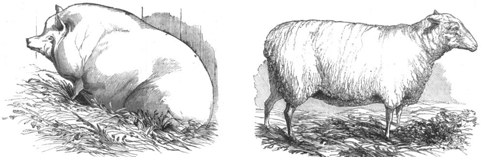 Associate Product CAMBRIDGESHIRE. Goodlake's Wadley Boar; Linton's Lincoln & Leicester Ewe, 1844