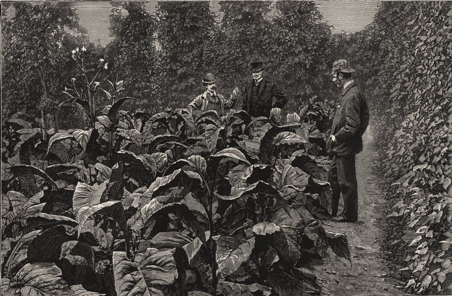 Associate Product Tobacco growing in Kent. A field of tobacco plants, Sharsted Court, Kent, 1886