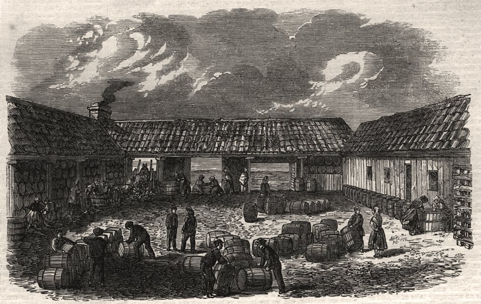 Associate Product The herring fishery. Curing yard at St. Monance, Fife. Scotland, old print, 1863