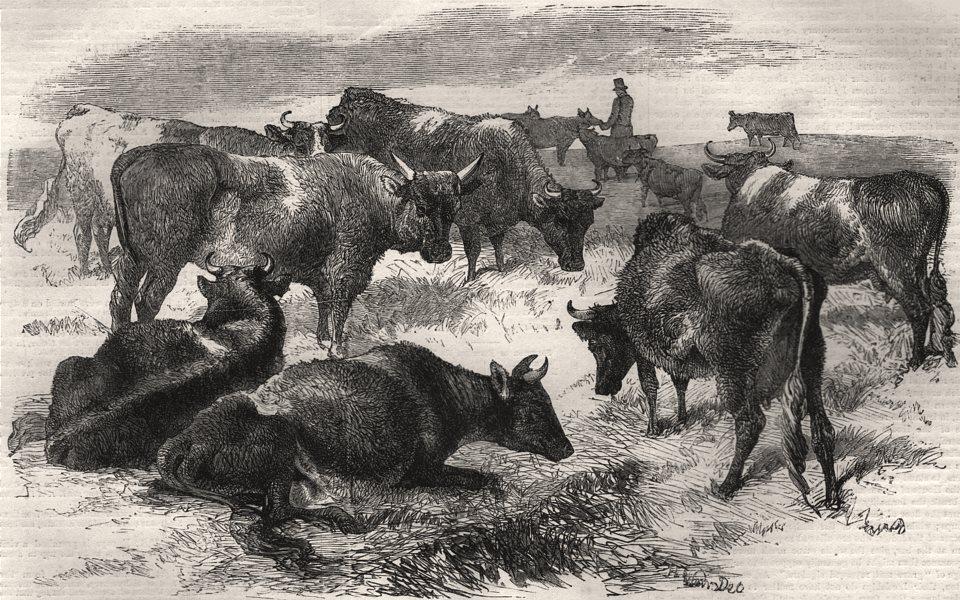 Associate Product Breton cattle. Canada, antique print, 1859