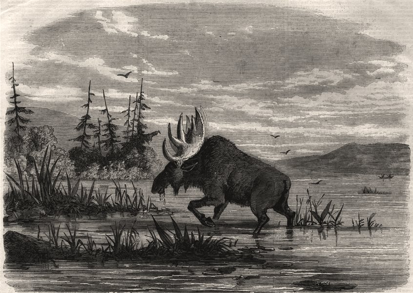 Associate Product Moose hunting in Canada. A bull moose feeding. Canada, antique print, 1858