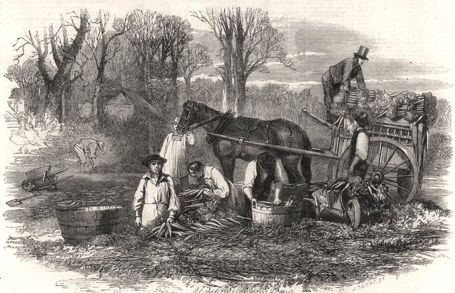 Associate Product Gathering, washing, bunching, and carting carrots for the London market, 1861