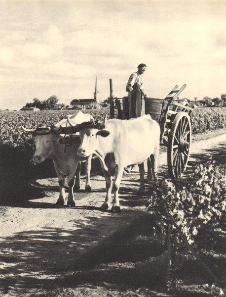 Associate Product BORDEAUX WINE. Vendanges Grands Crus. Grape harvest Grand Cru vineyard 1949
