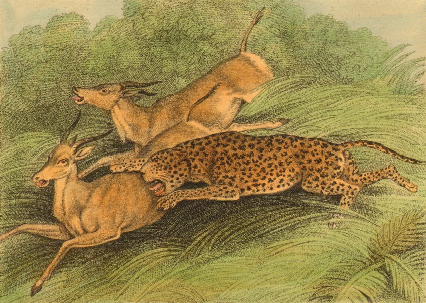 Associate Product ARABIA. Hunting Antelopes with a Panther (Field Sports- Edward Orme)  1814