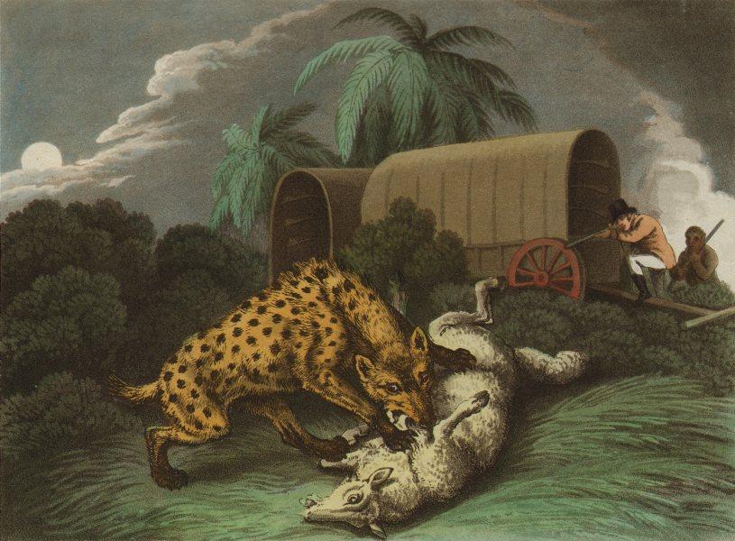 AFRICA. Shooting Hyaena attacking sheep. Wagon. Rifles (Edward Orme)  1814