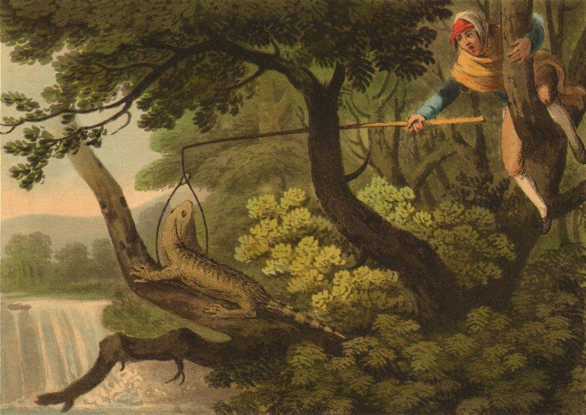 AMERICAN GUANA. Mexican catching lizard using noose (Edward Orme)  1814 print