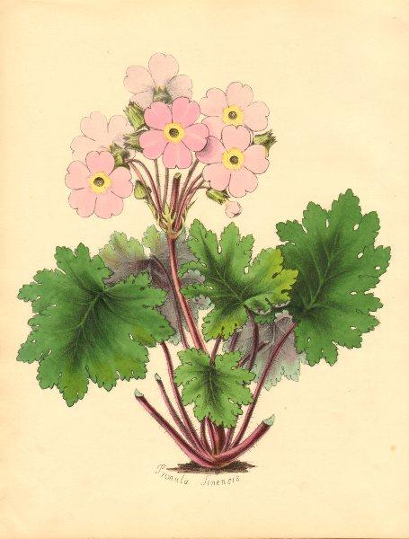 Associate Product PLANTAE UTILIORES. Chinese Primrose (Primula Sinensis) Hand colour. BURNETT 1842