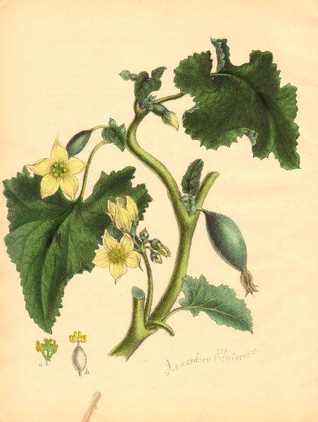 Associate Product PLANTAE UTILIORES. Wild or Squirting Cucumber (Momordica Elaterium) BURNETT 1842