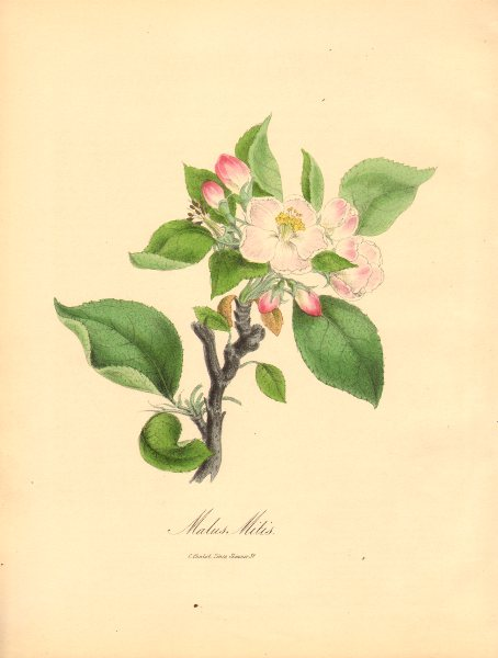 Associate Product PLANTAE UTILIORES. Sweet Apple (Malus midis) Hand colour. BURNETT 1842 print