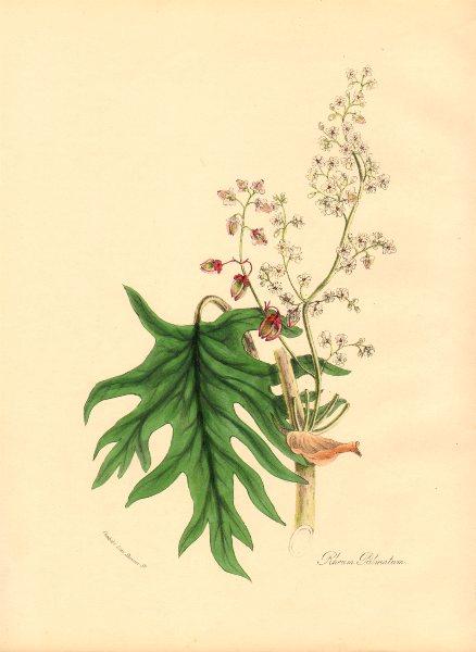 Associate Product PLANTAE UTILIORES. Palmated Rhubarb. (Rheum palmatum) Hand colour. BURNETT 1842