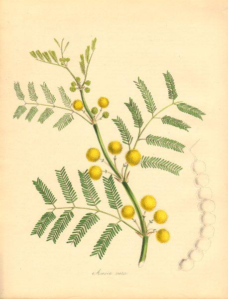 Associate Product PLANTAE UTILIORES. Egyptian Gum-arabic or Thorn (Acacia vera). BURNETT 1842