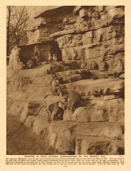 Associate Product Baboons on the Monkey Hill, London Zoo, Regent's Park 1926 old vintage print
