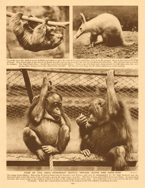 Associate Product London Zoo. Orang-utangs, sloth and aard-vark. Regent's Park 1926 old print