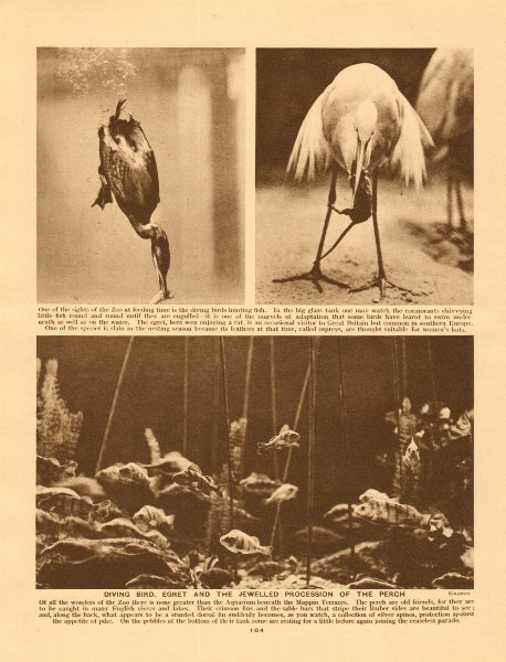 Diving bird, egret and the jewelled procession of the perch 1926 old print