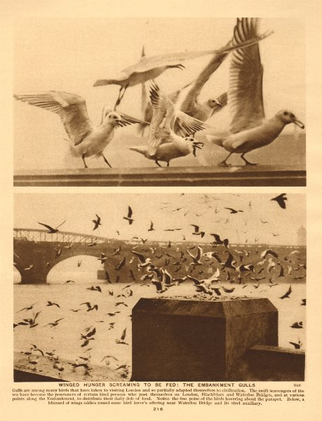 Associate Product Winged hunger screaming to be fed. the Embankment sea gulls 1926 old print