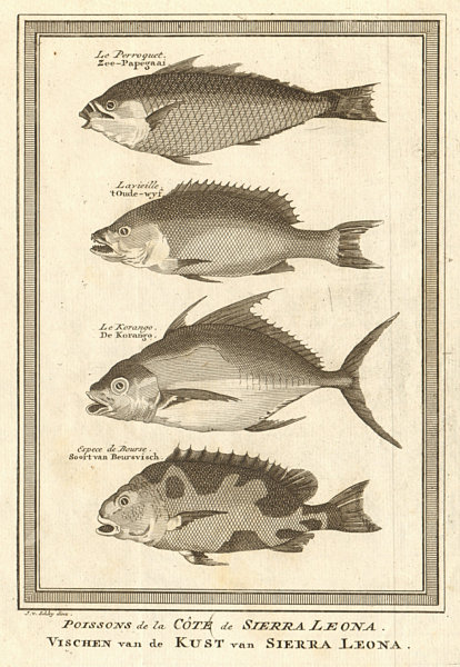 """Sierra Leone fish. Parrot fish """"Old wife"""" Trevally Filefish. SCHLEY 1748 print"""