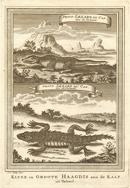Associate Product South Africa. Small Cape Lizard & Great Cape Lizard, from Tachard. SCHLEY 1748