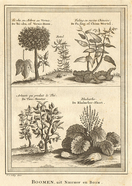Associate Product China root. Tea. Rhubarb. Goldenrain/Varnish/Chinese lacquer tree. SCHLEY 1749