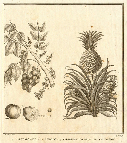 Associate Product 1. Amsaleira 2. Amsal 3. Pineapple. East Indies Indonesia fruit. SCHLEY 1763