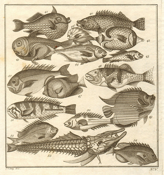 Associate Product V. Poissons d'Ambione. Indonesia Moluccas Maluku tropical fish. SCHLEY 1763