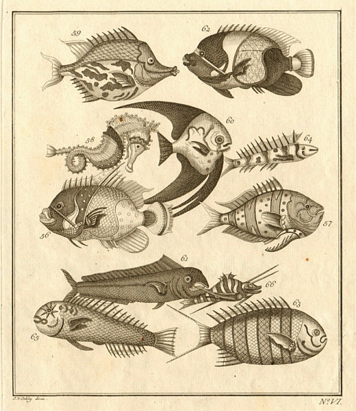 Associate Product VI. Poissons d'Ambione. Indonesia Moluccas Maluku tropical fish. SCHLEY 1763