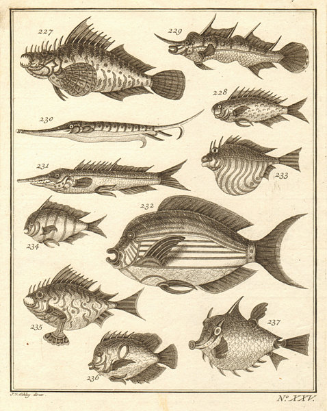 Associate Product XXV. Poissons d'Ambione. Indonesia Moluccas Maluku tropical fish. SCHLEY 1763
