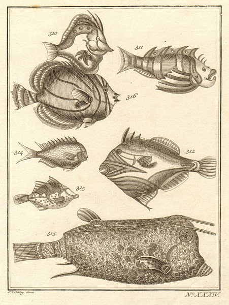 Associate Product XXXIV. Poissons d'Ambione. Indonesia Moluccas Maluku tropical fish. SCHLEY 1763