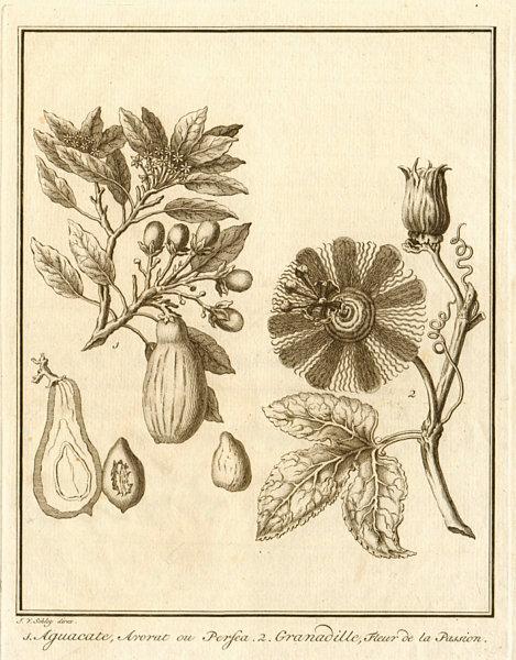 Associate Product Avocado / Persea americana. Passiflora ligularis (Sweet granadilla). SCHLEY 1762