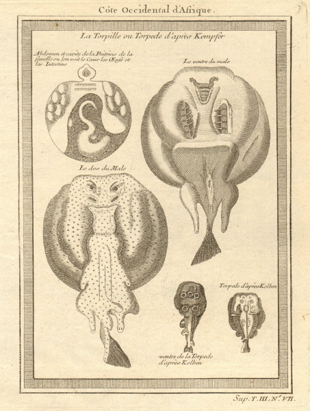Associate Product West African fish. Torpedo or electric rays after Kempfer 1747 old print