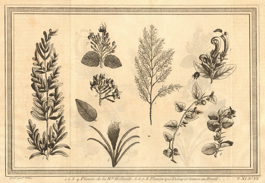 Plants of New Holland (Australia) and found by William Dampier in Brazil 1753