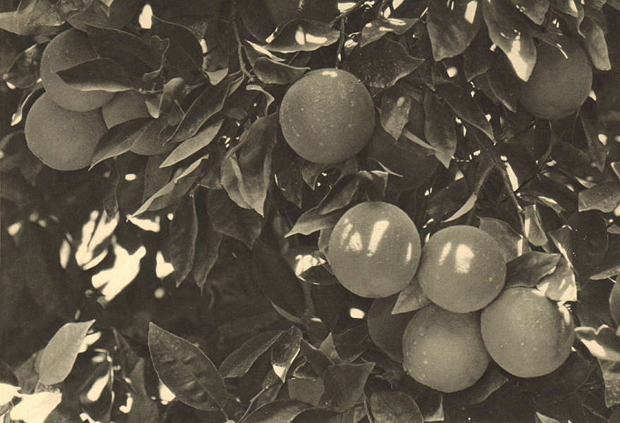 Associate Product CHILE. Pica. Naranjas. Oranges 1932 old vintage print picture