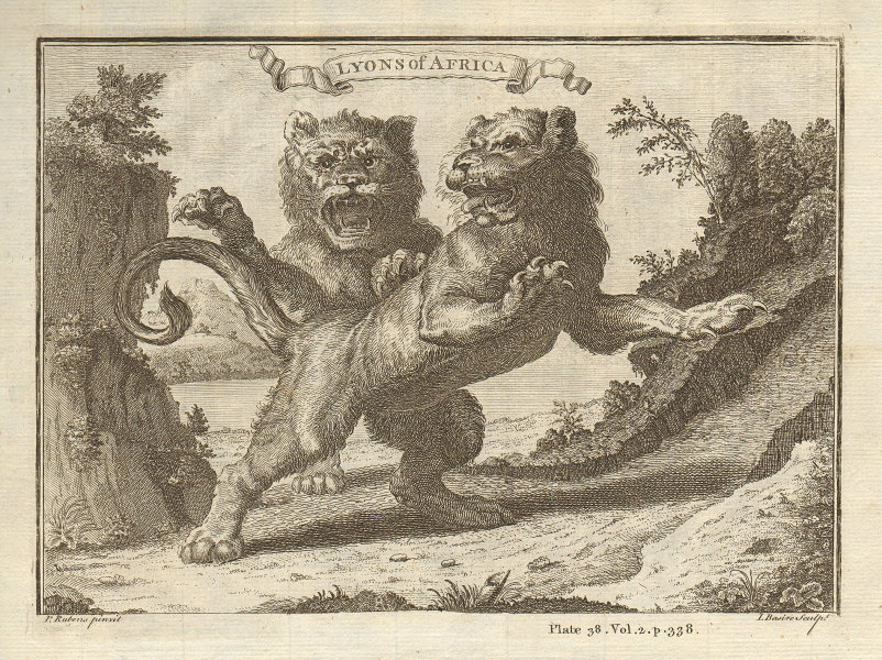 Lyons of Africa. African Lions. BASIRE 1745 old antique vintage print picture