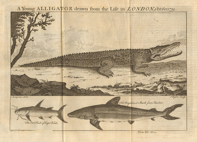 Young Alligator, drawn in London 1739. Shark. Catfish. West Africa 1745 print