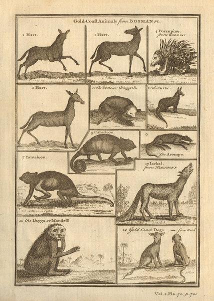 Ghana animals Hart Porcupine Berbe Potto Sluggard Chameleon Mandrill Jackal 1745