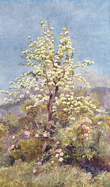 Associate Product FRANCE. Pear-blossom, Maritime Alps 1907 old antique vintage print picture