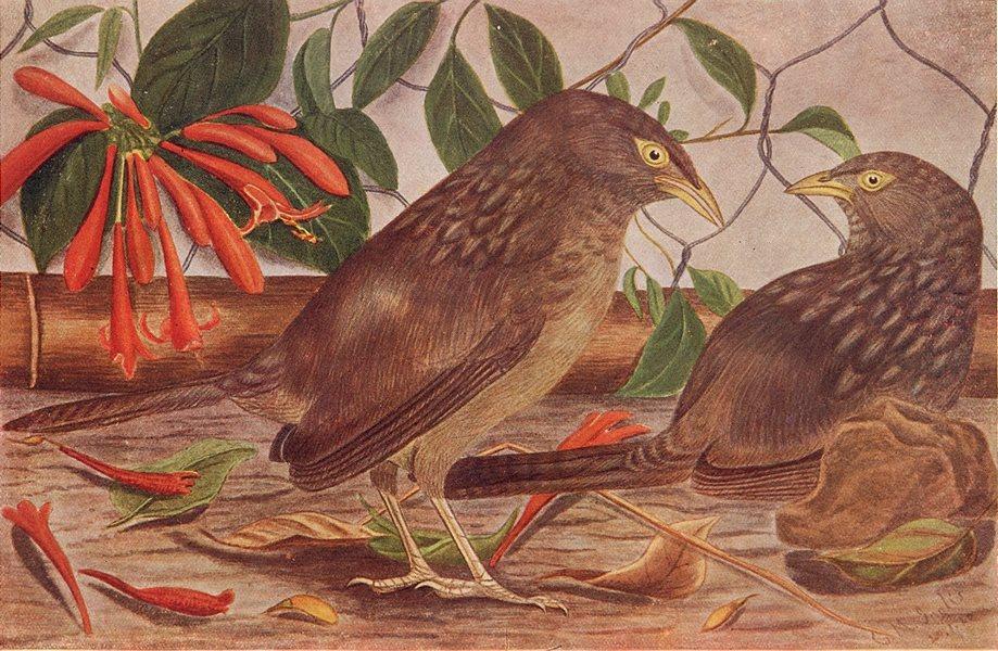 Associate Product BIRDS OF INDIA. Bengal Jungle-Babbler Seven Sisters (Turdoides terricolor) 1924