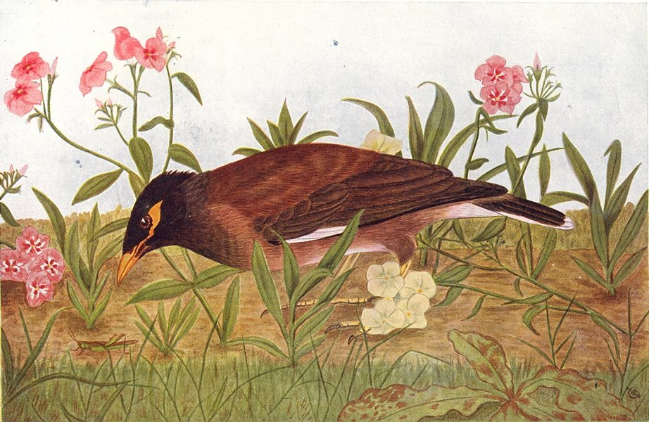 Associate Product BIRDS OF INDIA. Common Myna (Acridotheres tristis) 1924 old vintage print