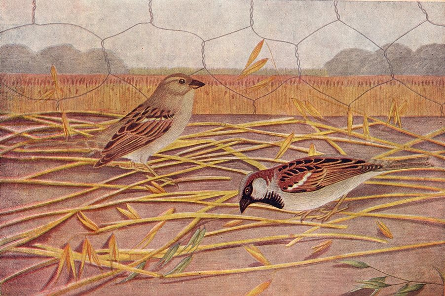 Associate Product BIRDS OF INDIA. Indian House-Sparrow (Passer domesticus Indicus) 1924 print