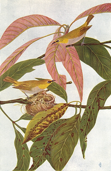Associate Product BIRDS OF INDIA. Indian White-eye (Zosterops palpebrosa) 1924 old vintage print