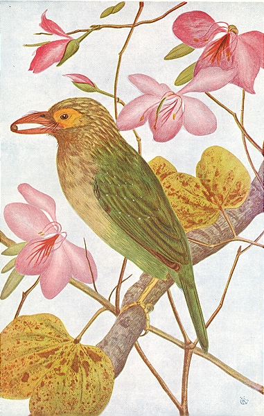 Associate Product BIRDS OF INDIA. Northern Green barbet (Thereiceryx Zeylanicus caniceps) 1924