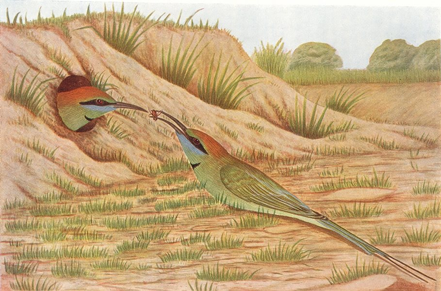 Associate Product BIRDS OF INDIA. Common Indian Bee-Eater (Merops orientalis) 1924 old print