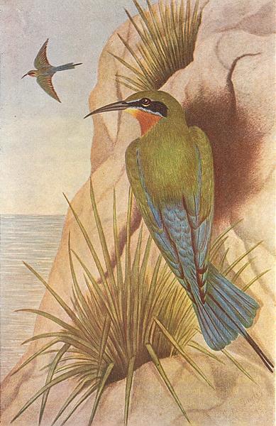 Associate Product BIRDS OF INDIA. Blue-tailed bee-eater (Merops superciliosus javanicus) 1924