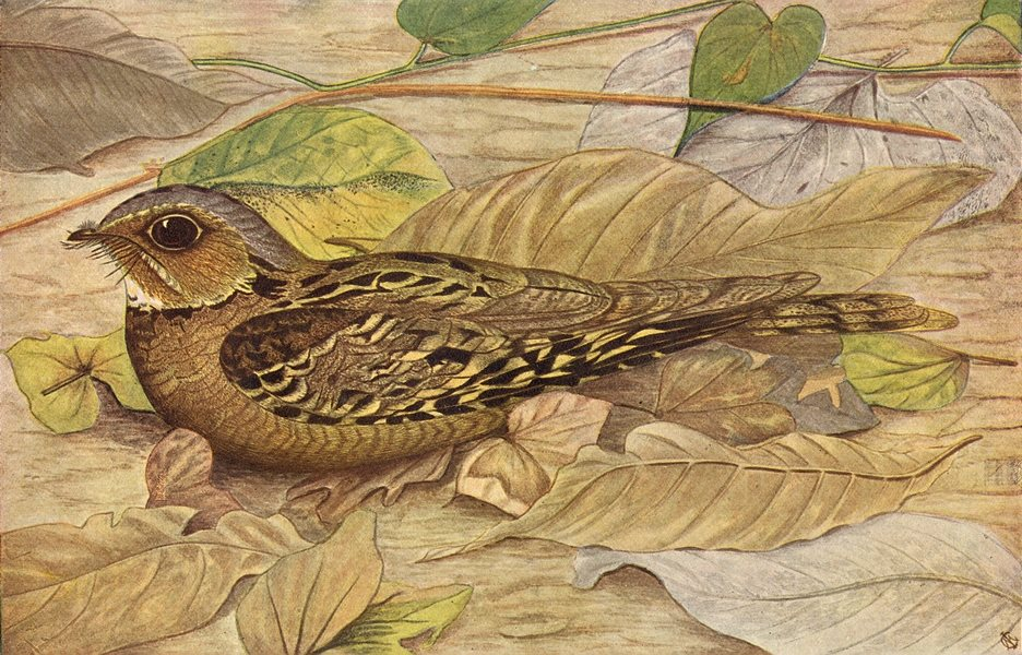 Associate Product BIRDS OF INDIA. The Hawk-Cuckoo (Hierococcyx varius) 1924 old vintage print