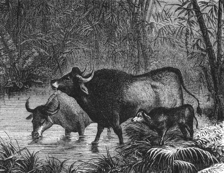 Associate Product INDIA. The Indian Bison(Bos Gaurus) c1880 old antique vintage print picture
