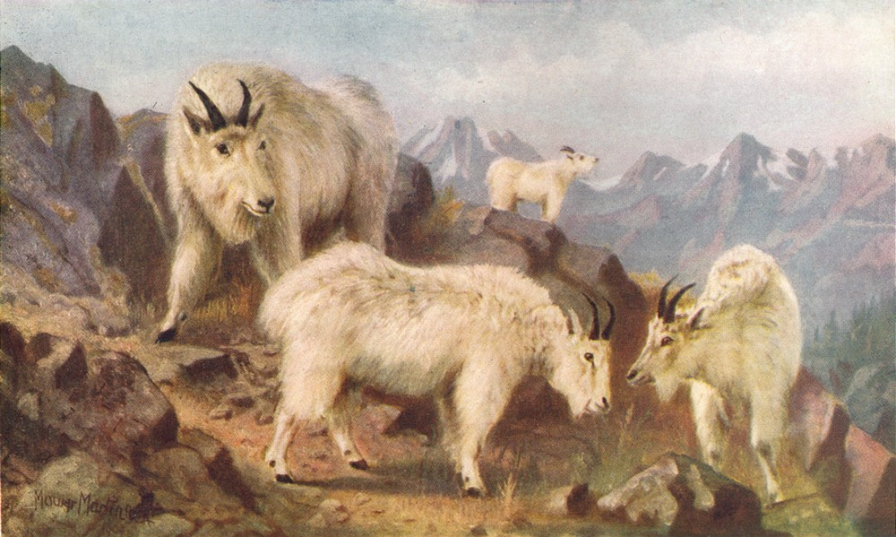CANADA. Mountain goats feeding 1907 old antique vintage print picture