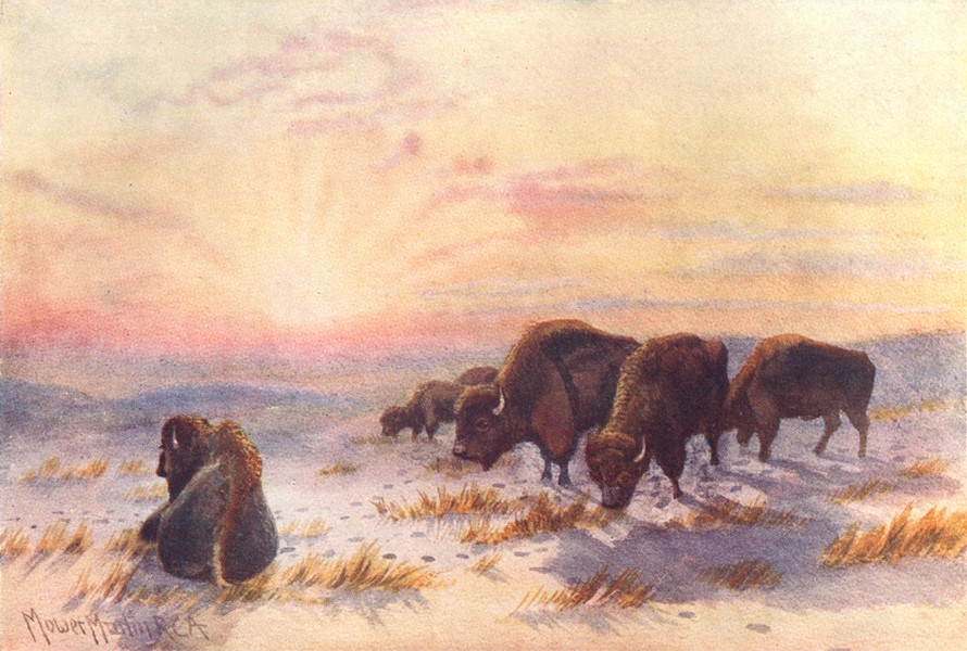 Associate Product CANADA. Prairie Provinces. Buffalo feeding in winter 1907 old antique print