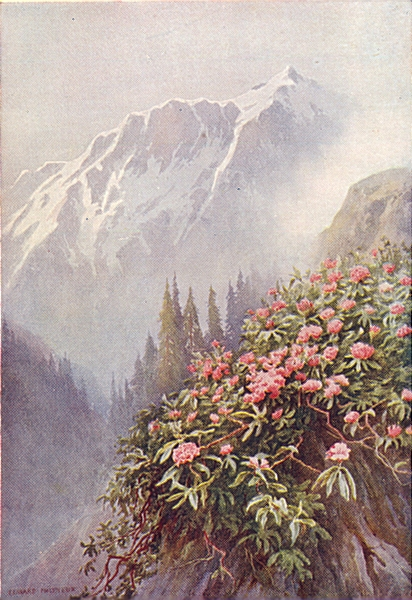 Associate Product KASHMIR. Wild Rhododendrons 1924 old vintage print picture
